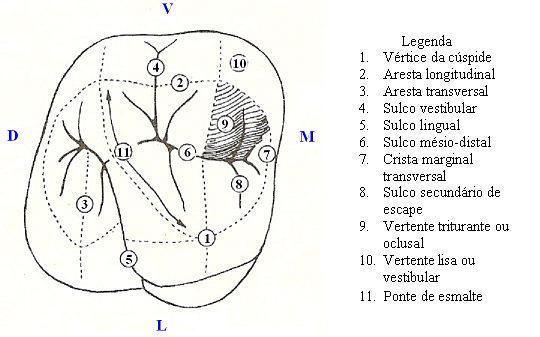 anatomia dental molar oclusal - Dicas Odonto